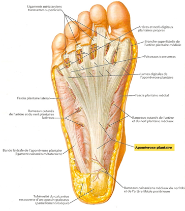douleur tendon sous le pied